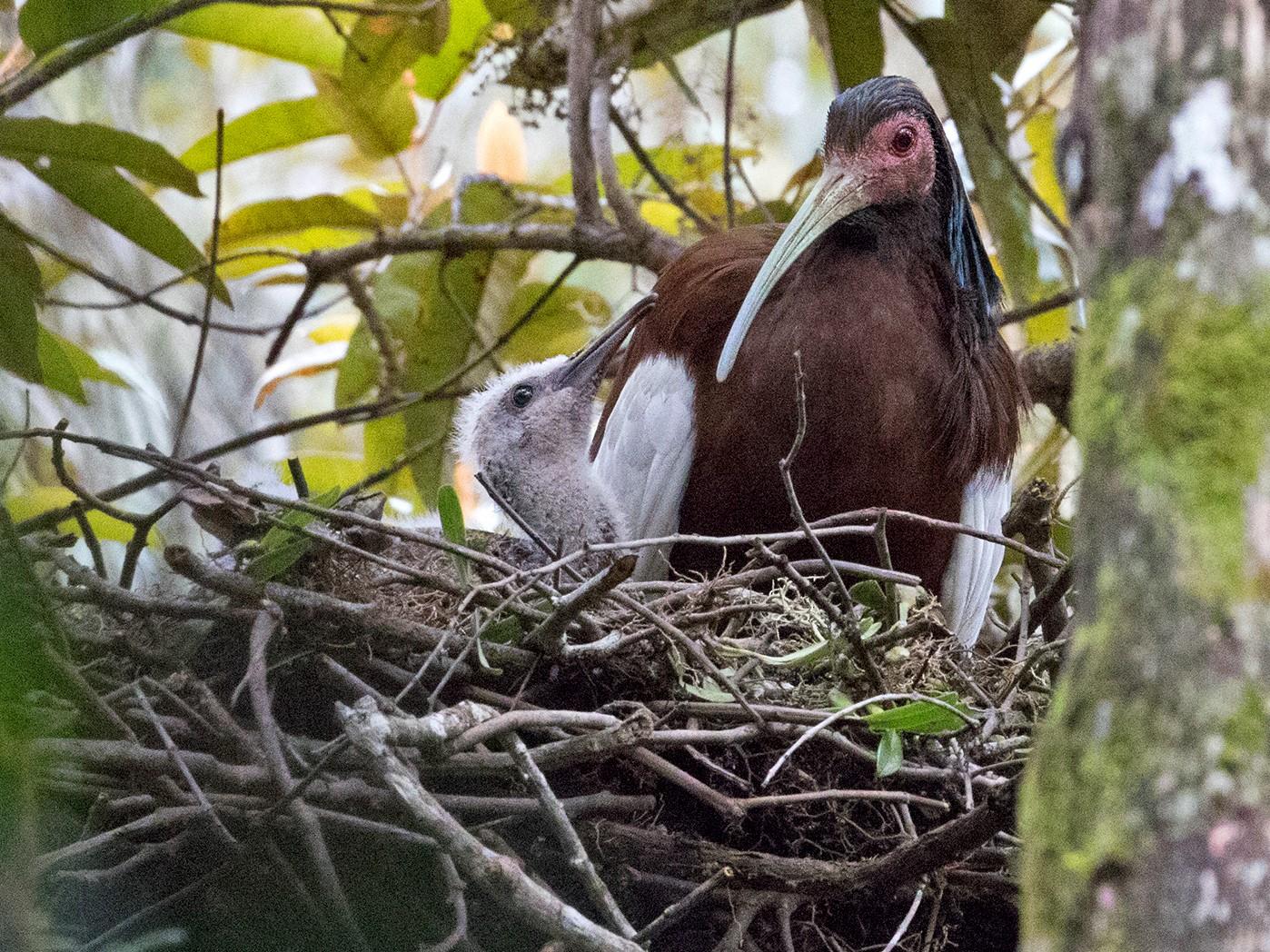 Madagascar Ibis - Sam Woods