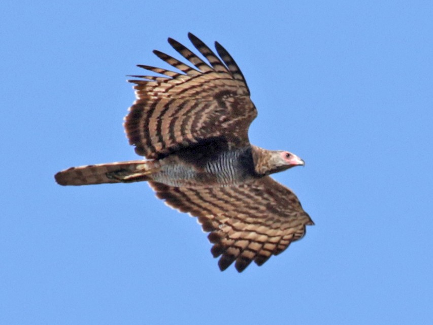 Madagascar Harrier-Hawk - Charley Hesse