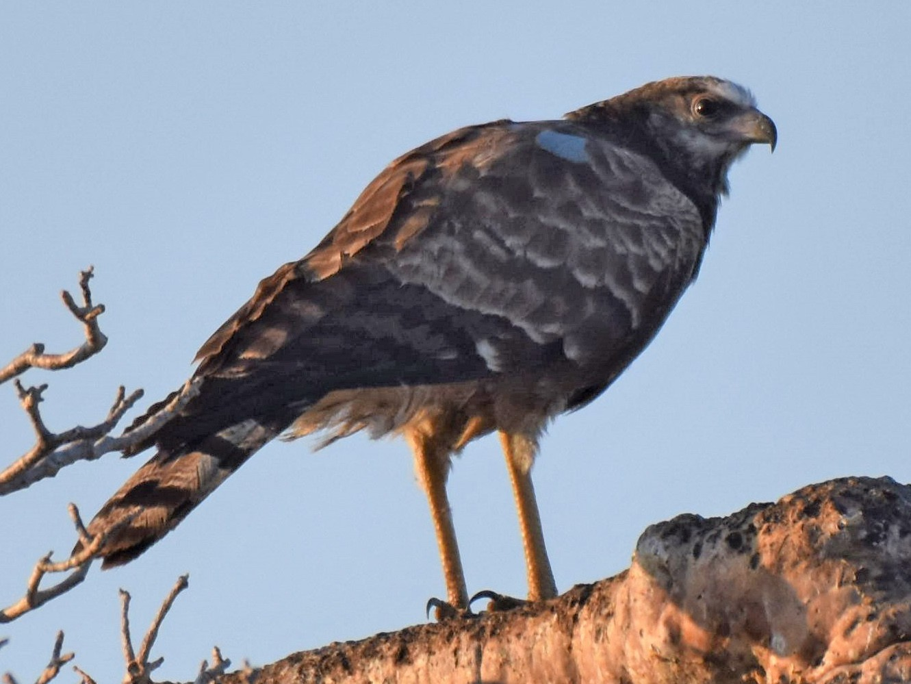 Madagascar Harrier-Hawk - Fabien Quétier
