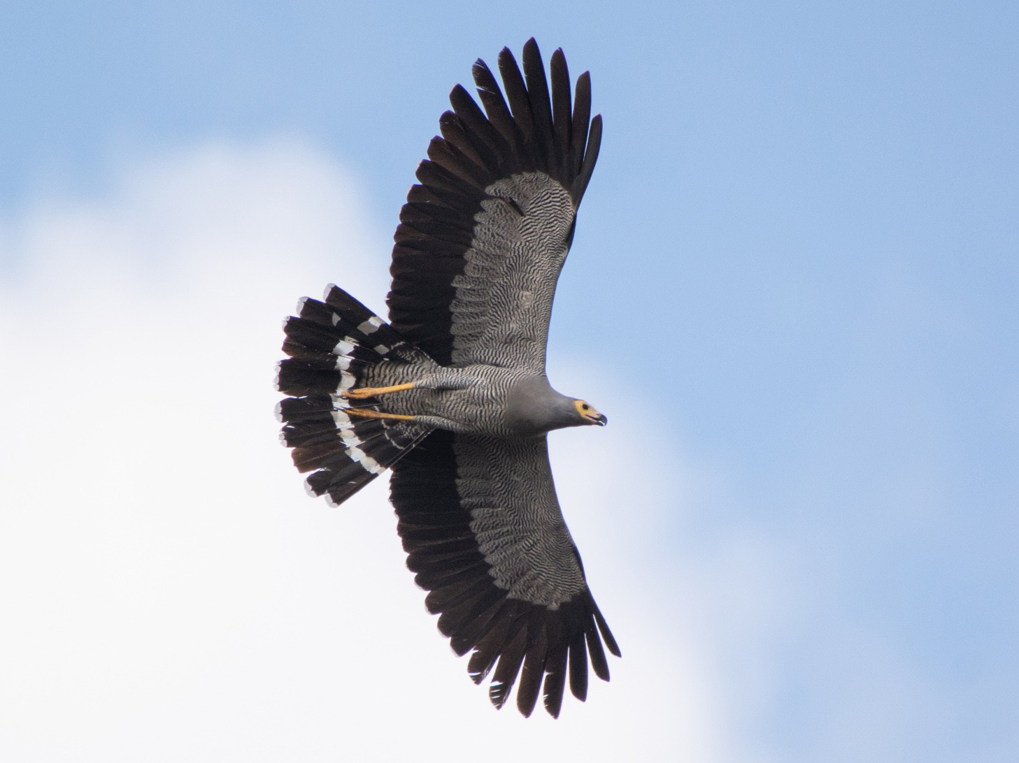 Madagascar Harrier-Hawk - Jean-Sébastien Guénette