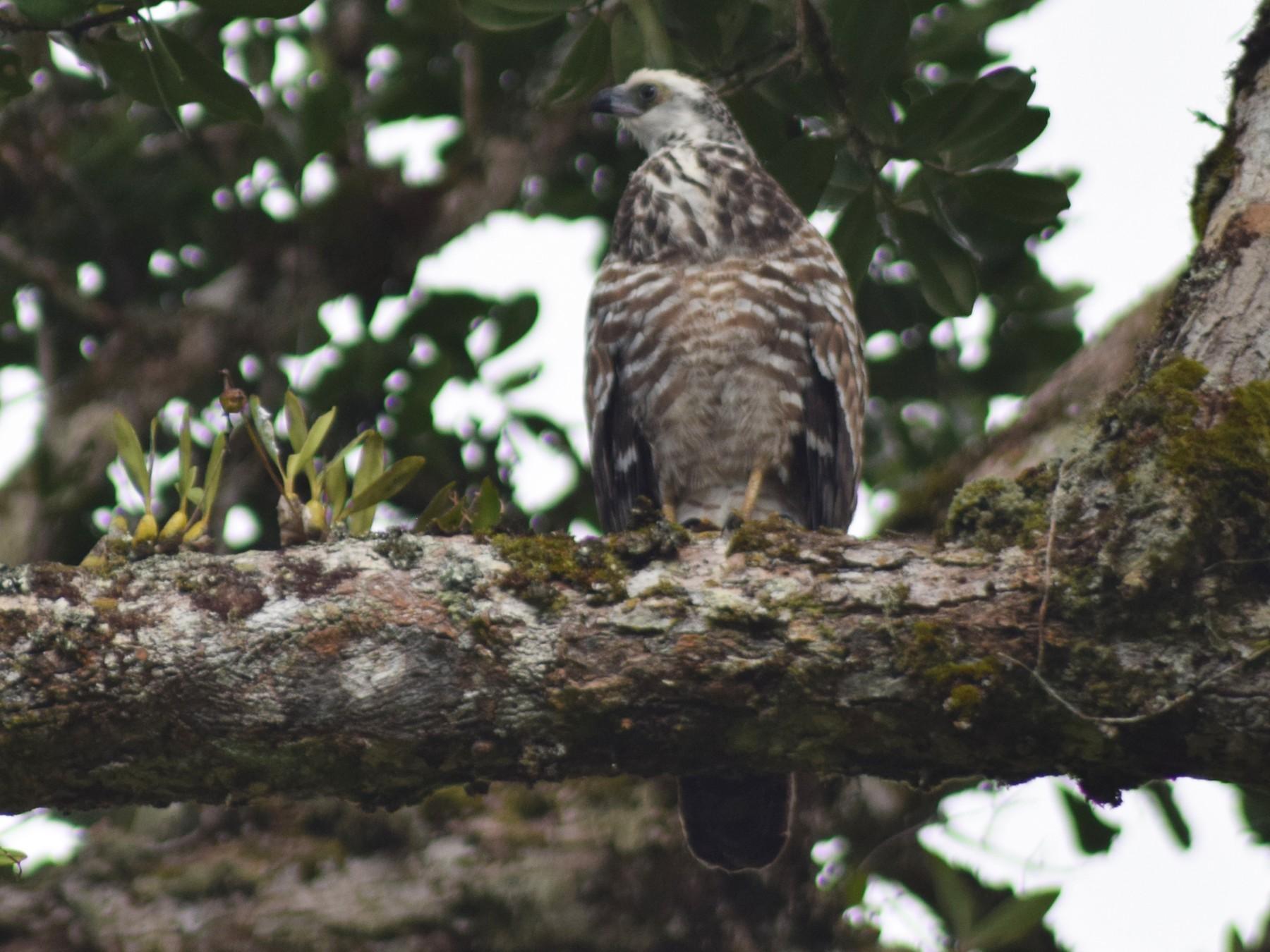 Madagascar Harrier-Hawk - Jordan Broadhead