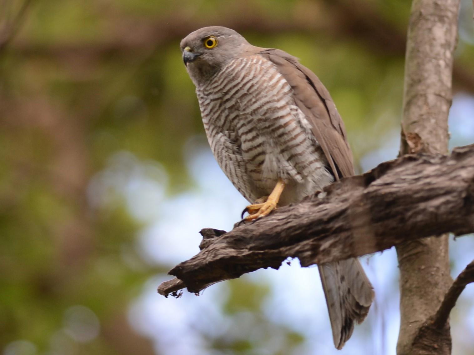 Frances's Sparrowhawk - Alan Van Norman