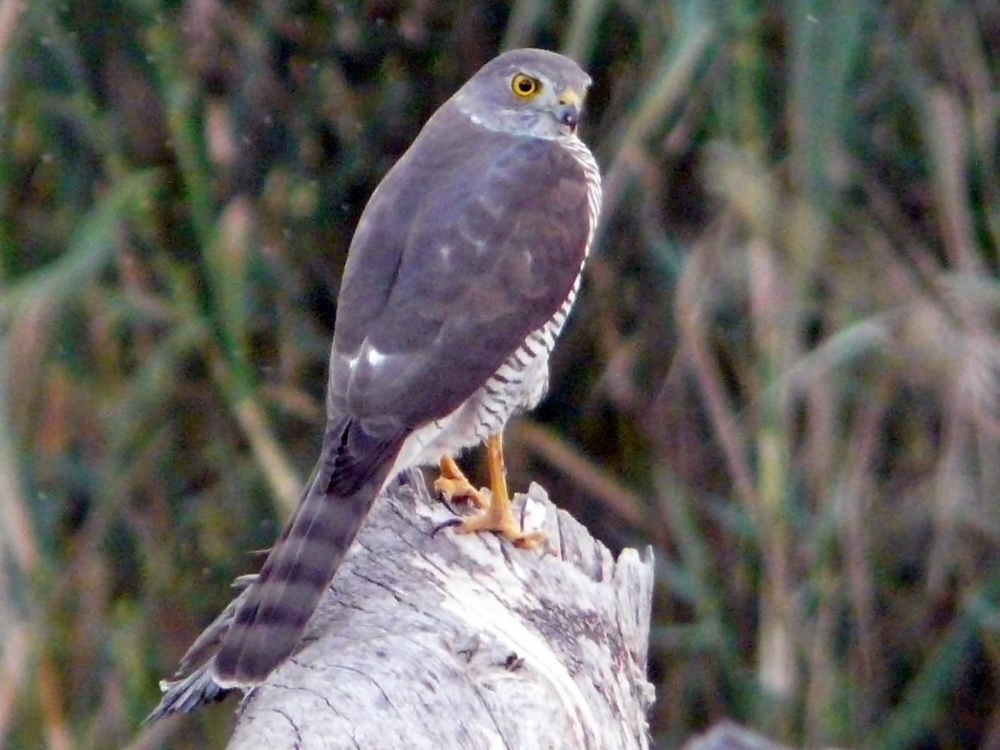 Frances's Sparrowhawk - Nigel Voaden