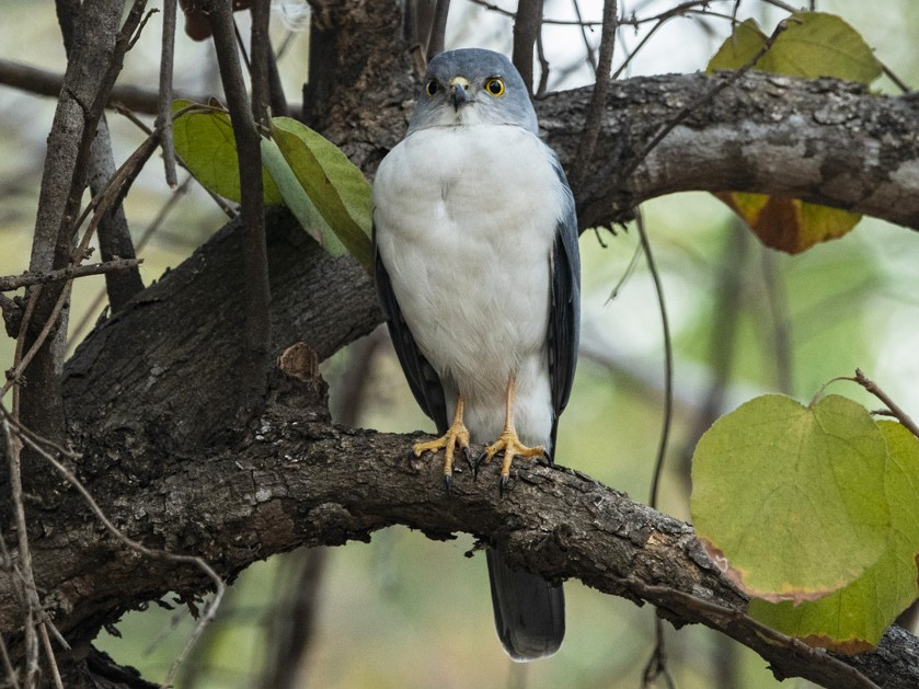 Frances's Sparrowhawk - David Bishop