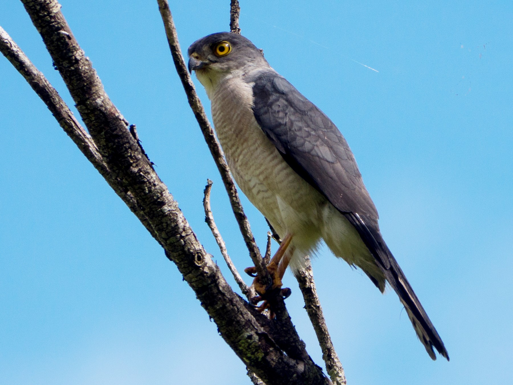 Frances's Sparrowhawk - Randall Siebert
