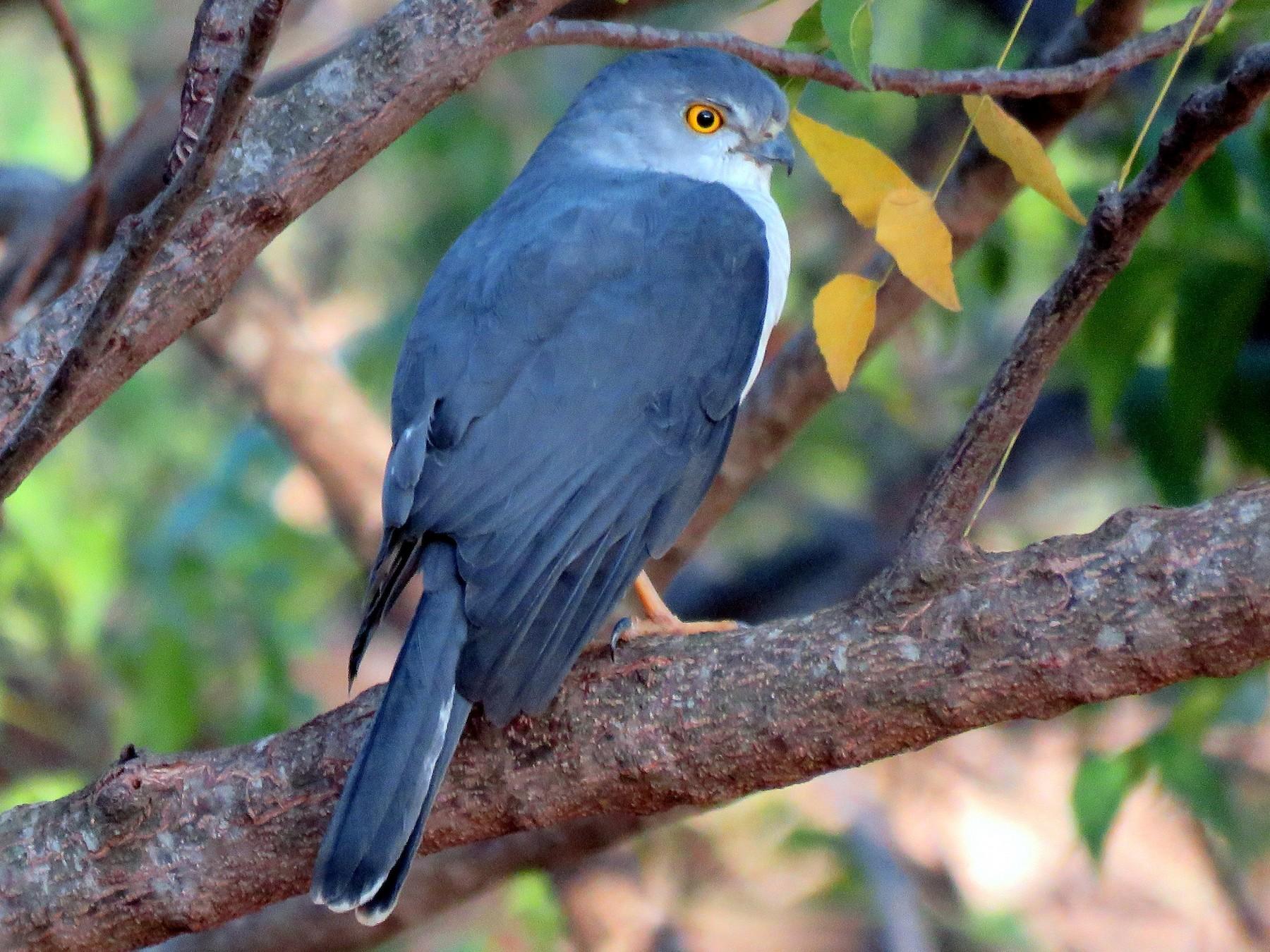 Frances's Sparrowhawk - Rosemary Lloyd