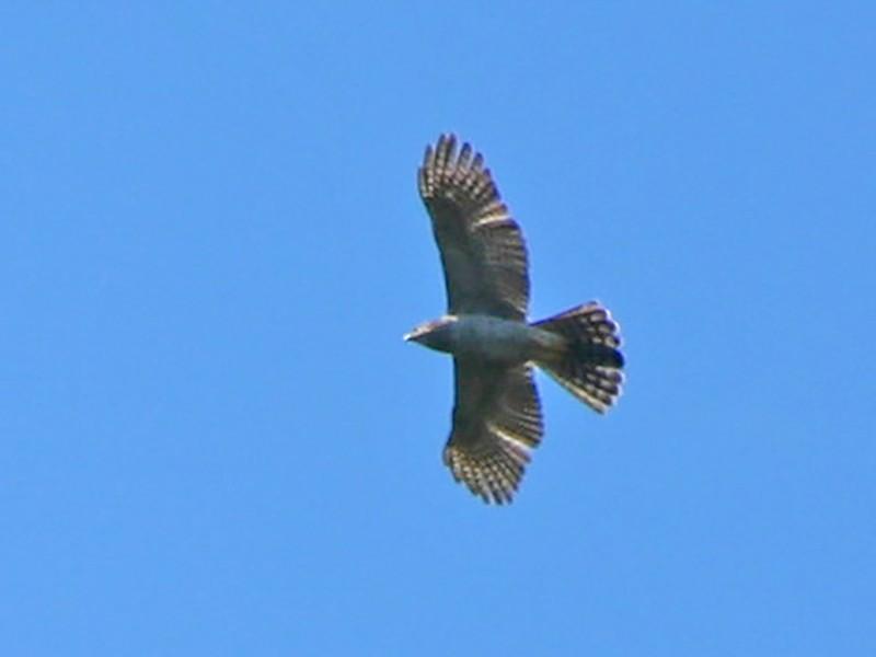 Madagascar Sparrowhawk - Pam Rasmussen