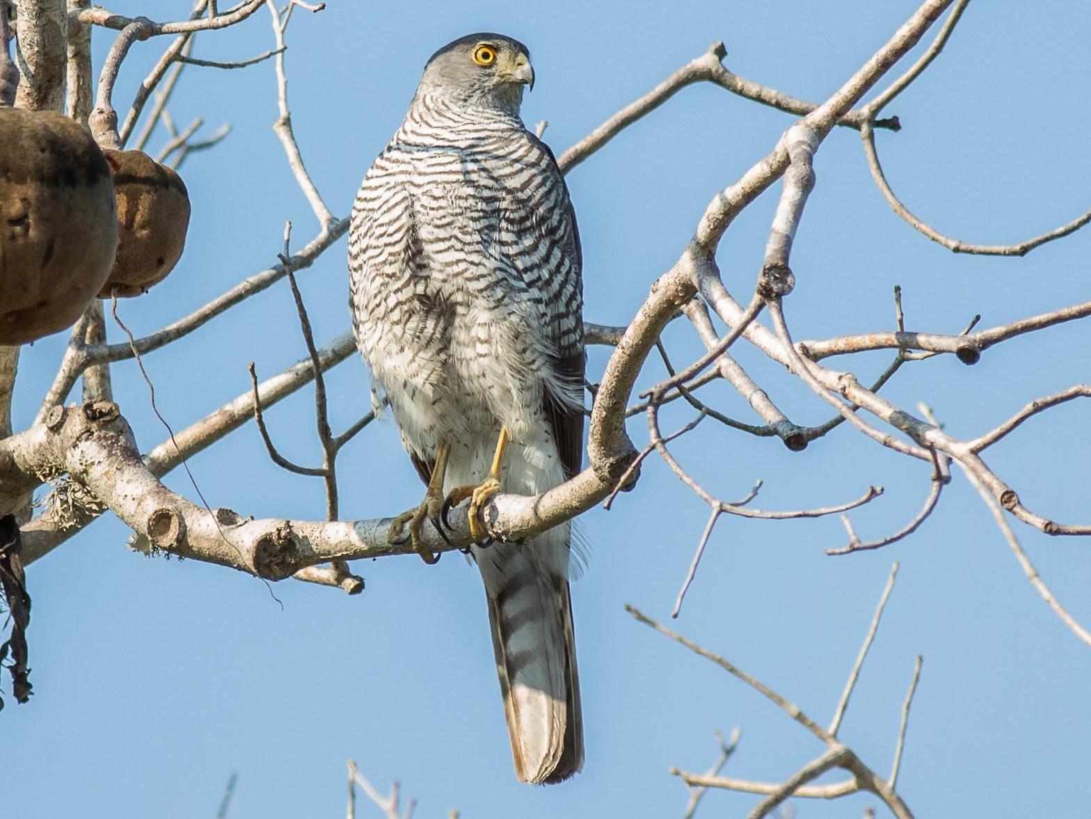 Madagascar Sparrowhawk - Antero Topp