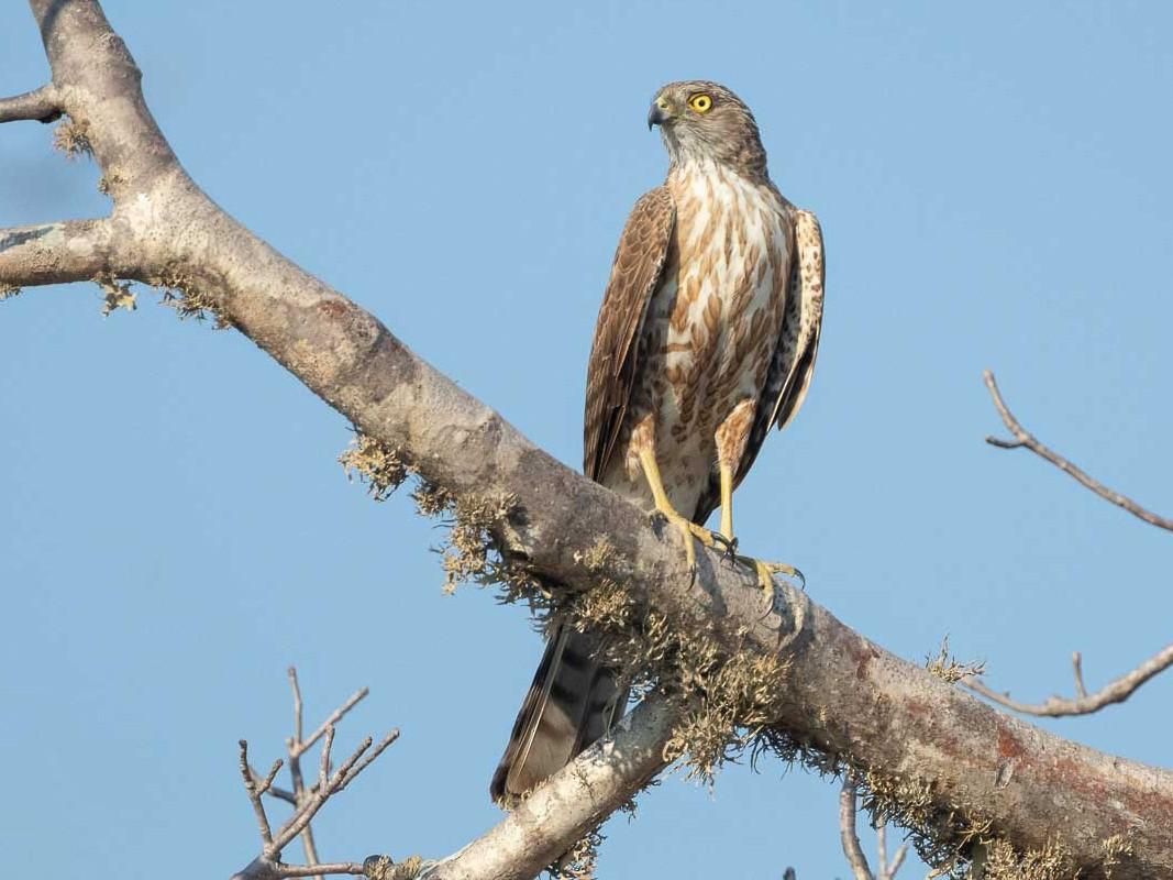 Madagascar Sparrowhawk - Jason Boyce