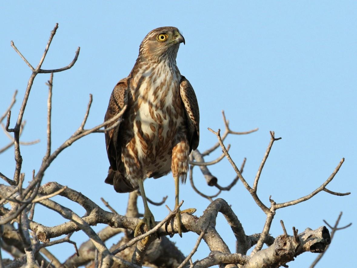 Madagascar Sparrowhawk - Charley Hesse