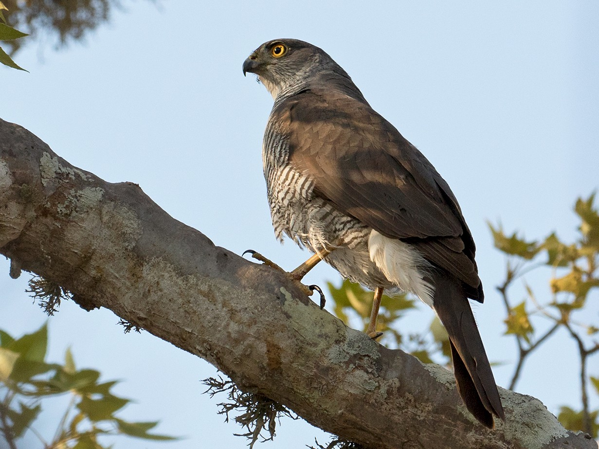 Madagascar Sparrowhawk - Sam Woods