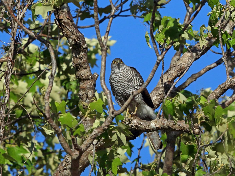 Madagascar Sparrowhawk - Nigel Voaden