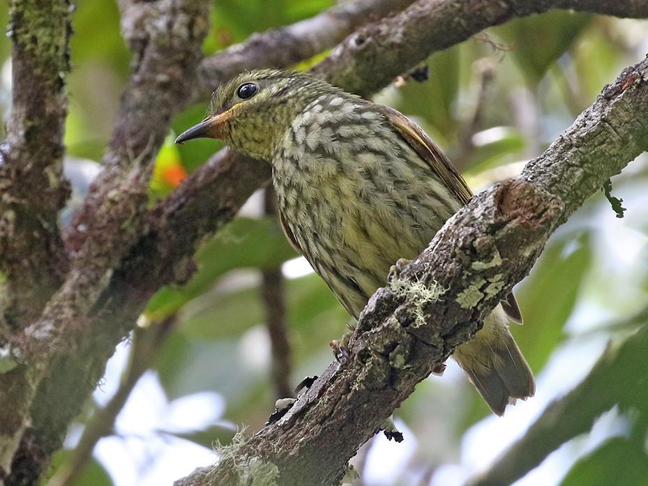 Velvet Asity - Charley Hesse TROPICAL BIRDING