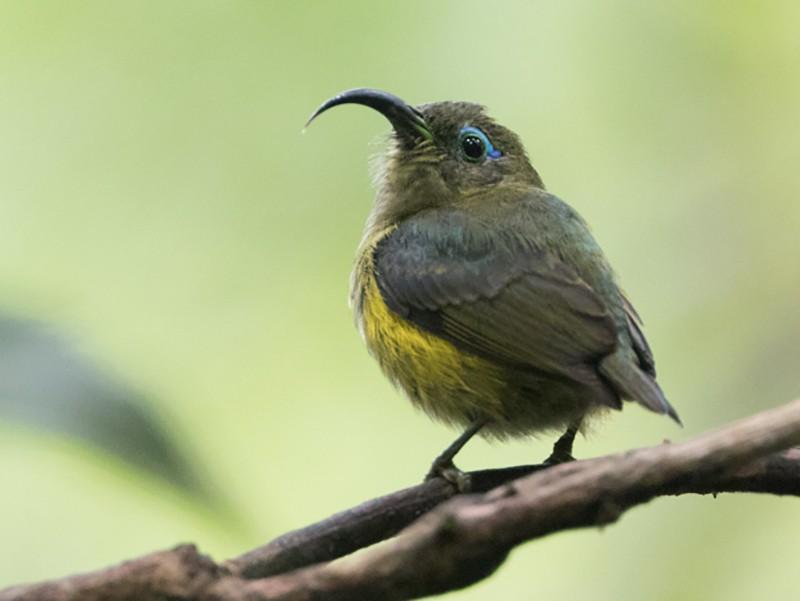 Common Sunbird-Asity - Jason Boyce