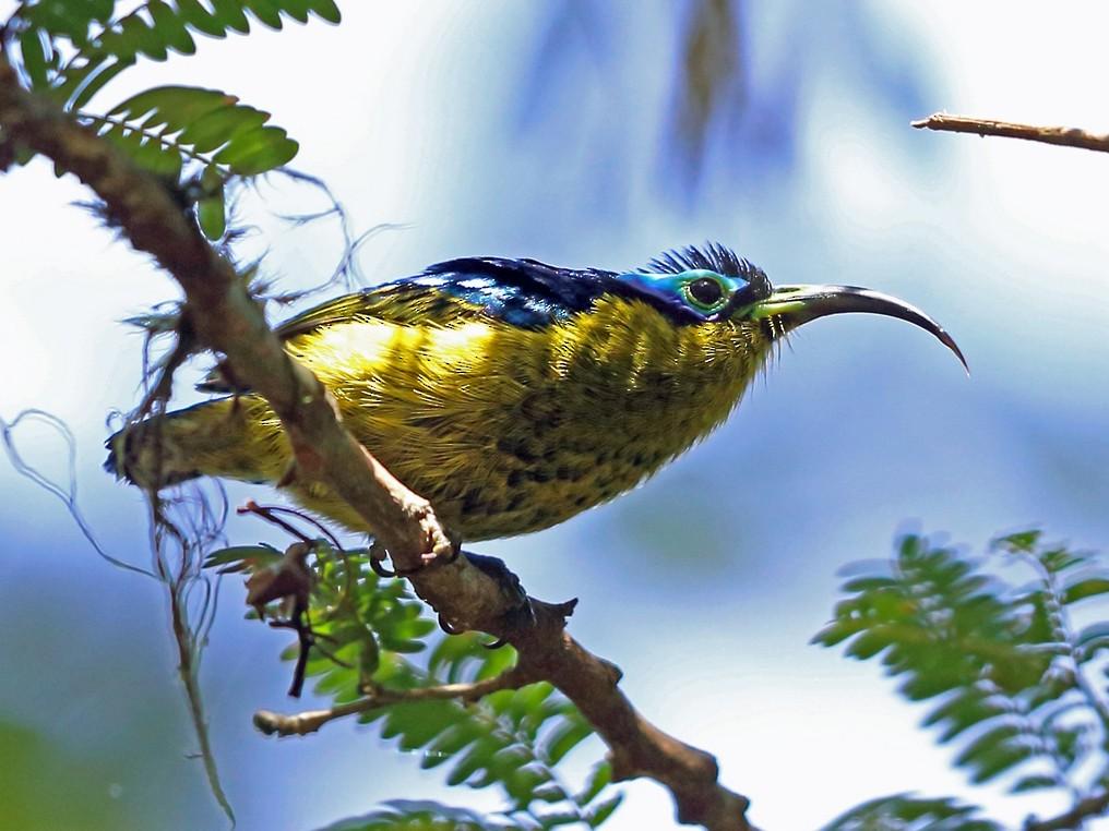 Common Sunbird-Asity - Nigel Voaden