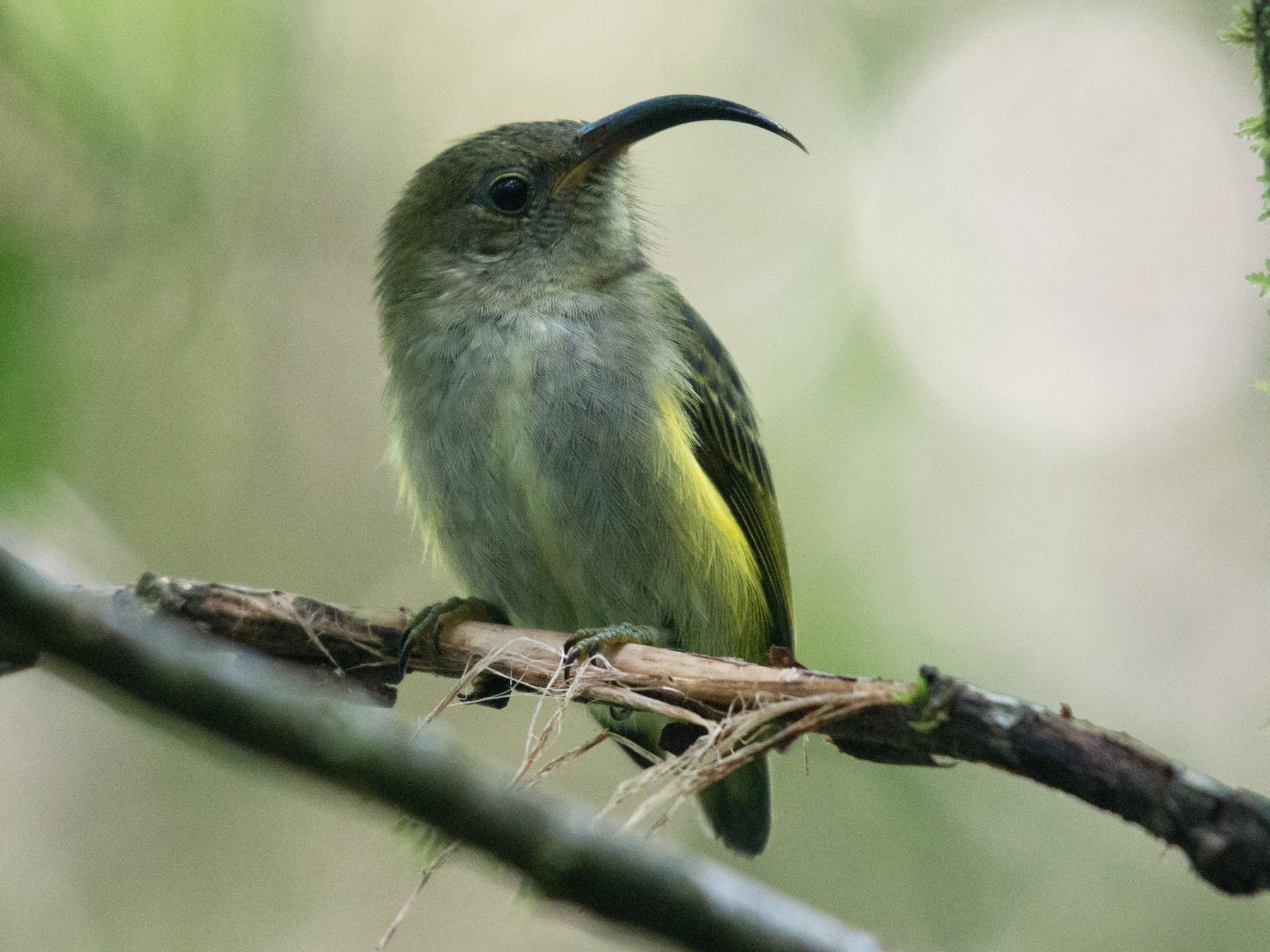 Common Sunbird-Asity - John C. Mittermeier