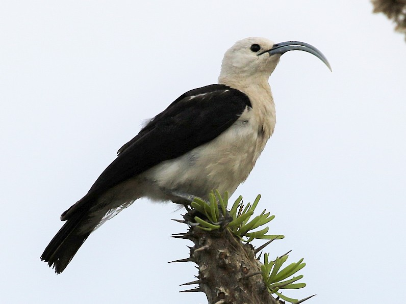 Sickle-billed Vanga - Carlos Sanchez