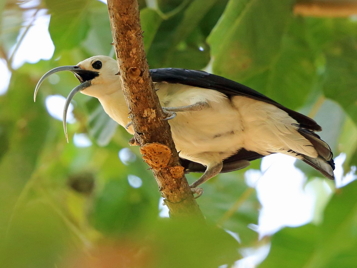 Sickle-billed Vanga - Nigel Voaden