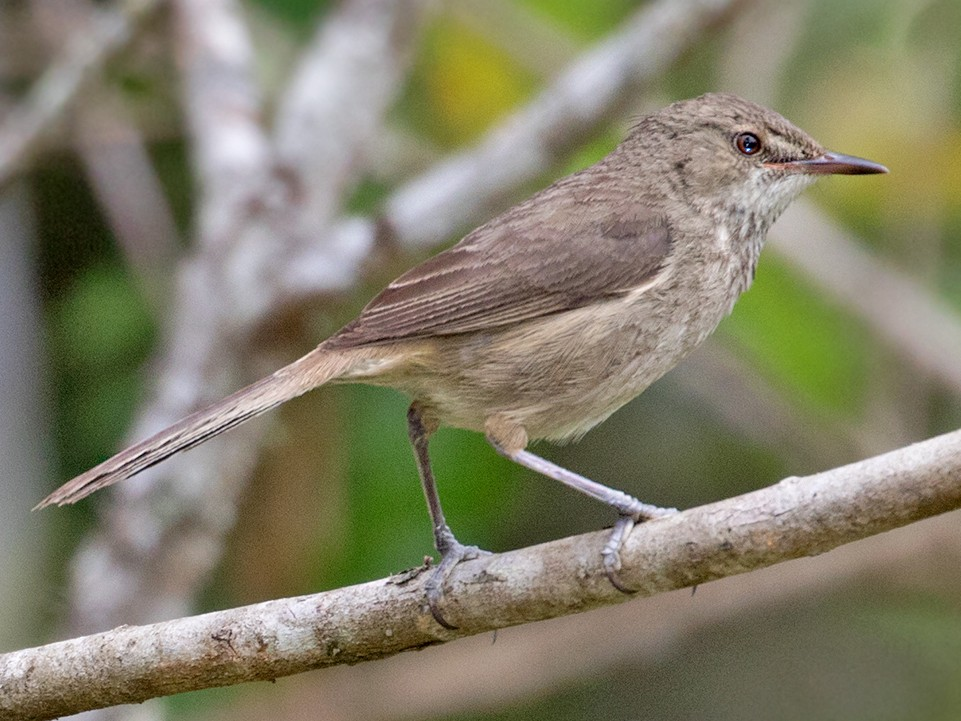 Madagascar Swamp Warbler - Sam Woods