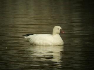 Ross's Goose, ML21190221