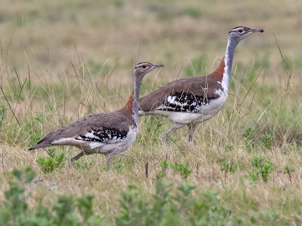 Denham's Bustard - Bruce Ward-Smith