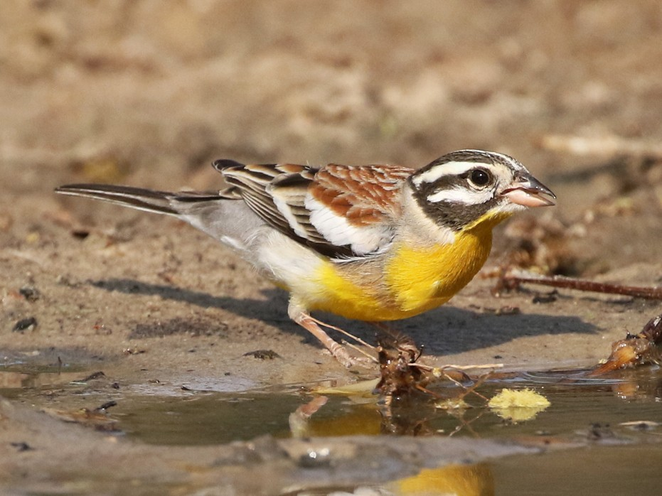 Golden-breasted Bunting - Charley Hesse