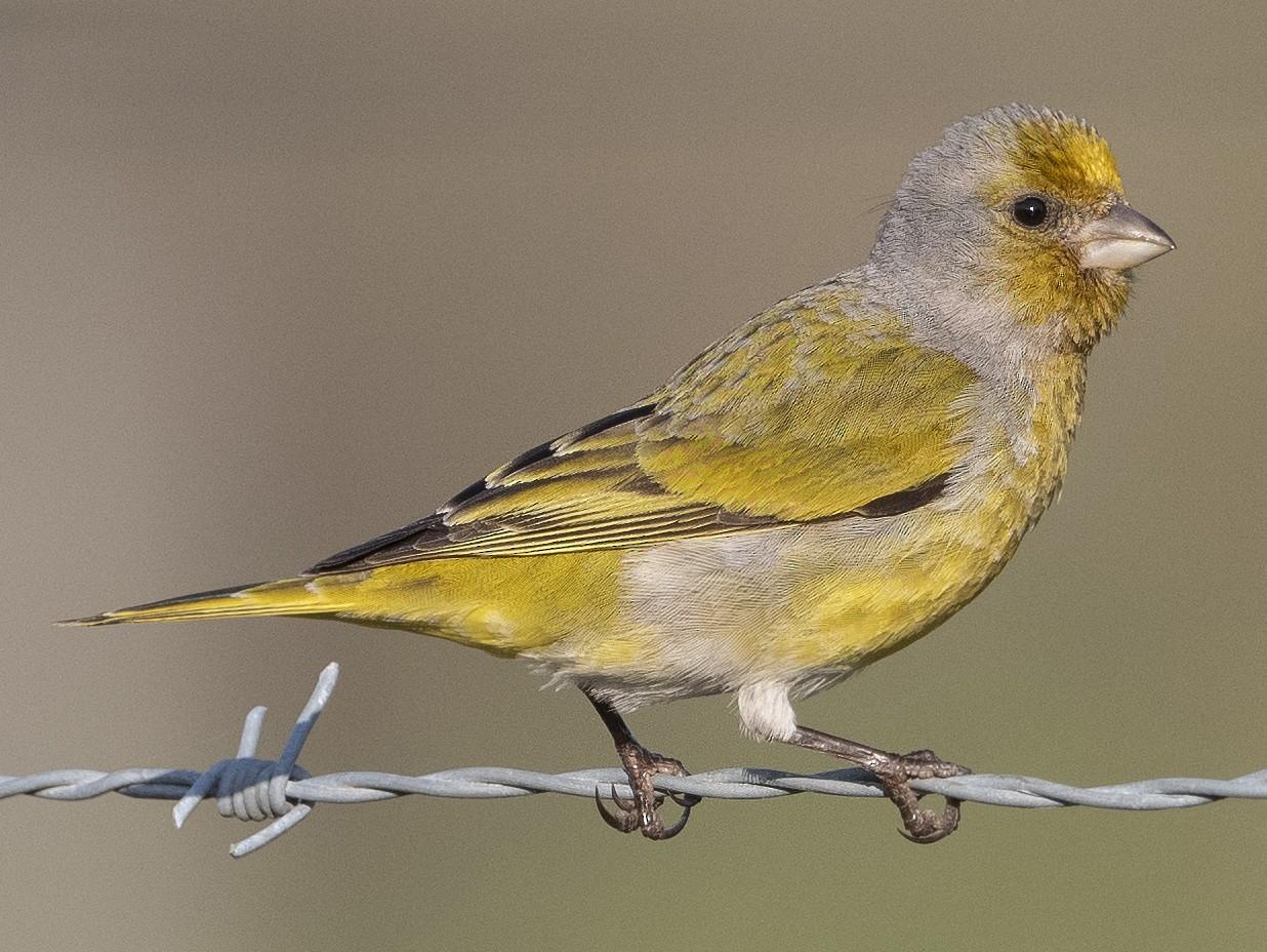 Cape Canary - Peter Hawrylyshyn
