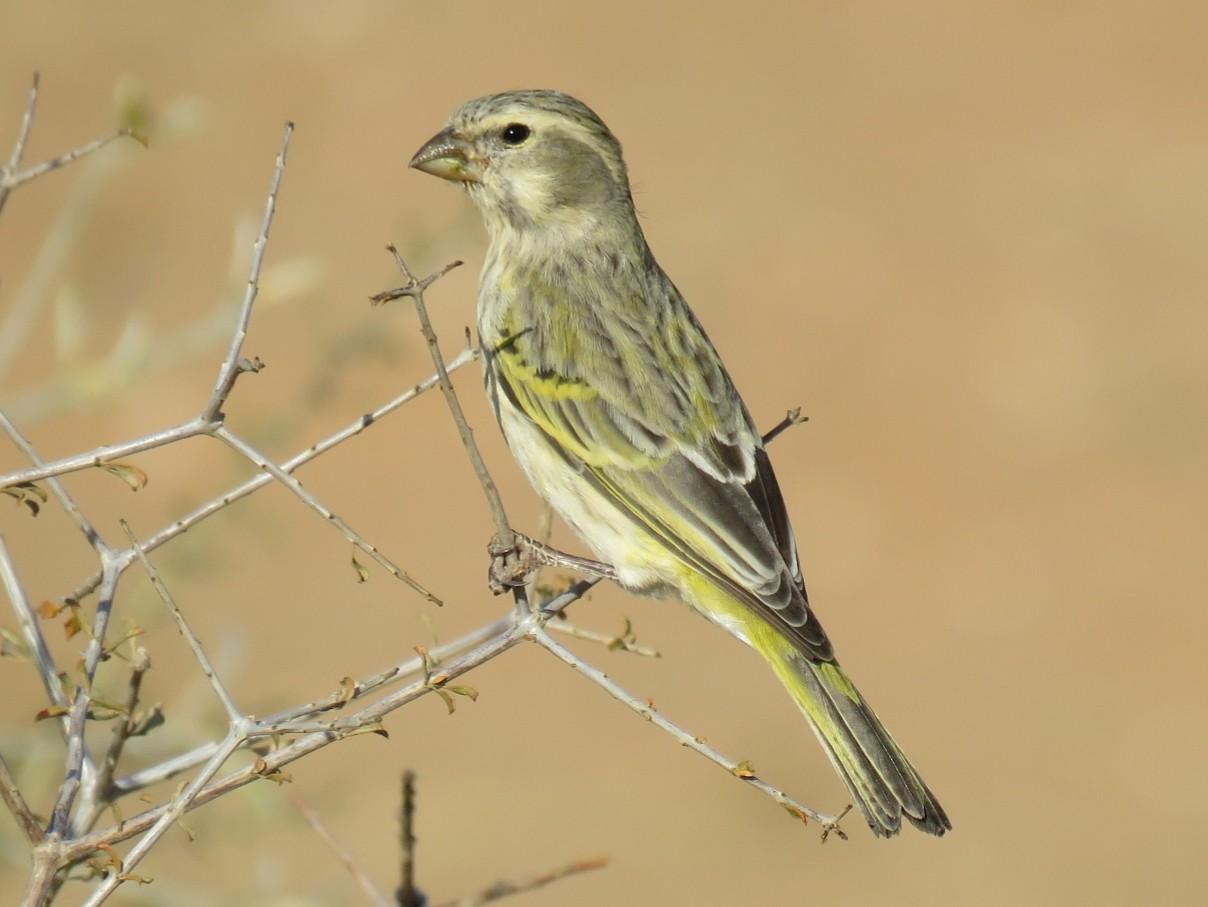 Yellow Canary - Brad Arthur