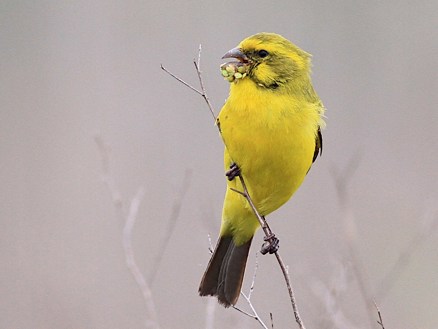 Yellow Canary - Michael McCloy