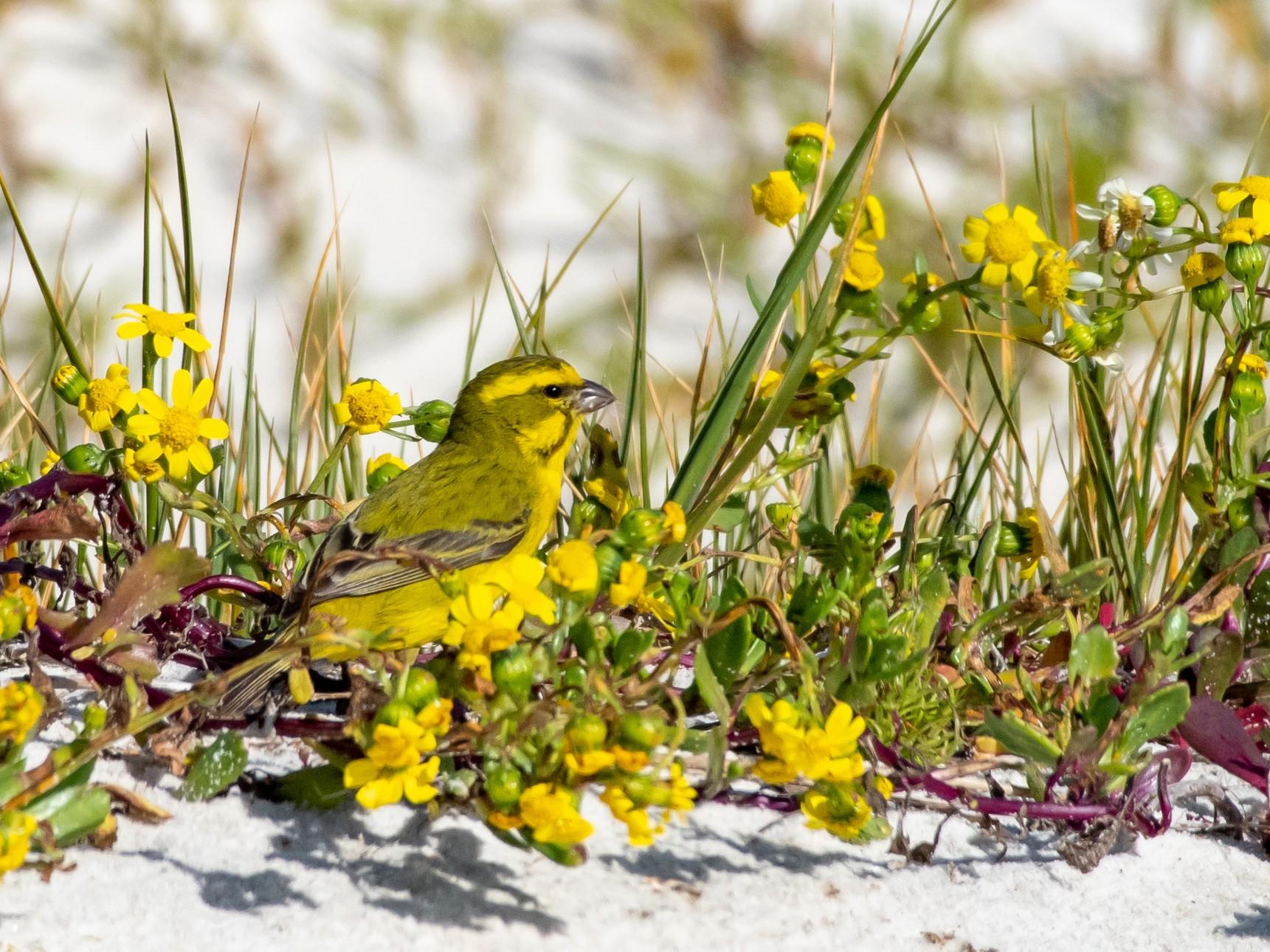 Yellow Canary - Hank Davis