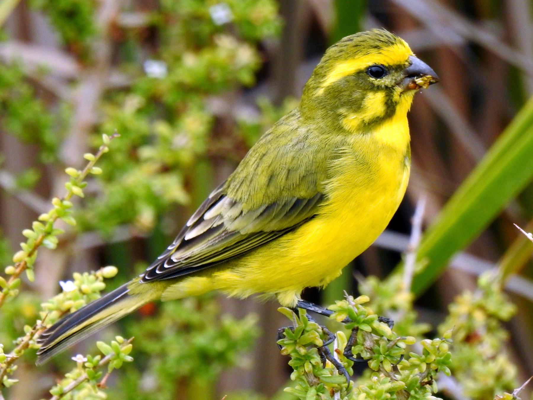 Yellow Canary - bob butler