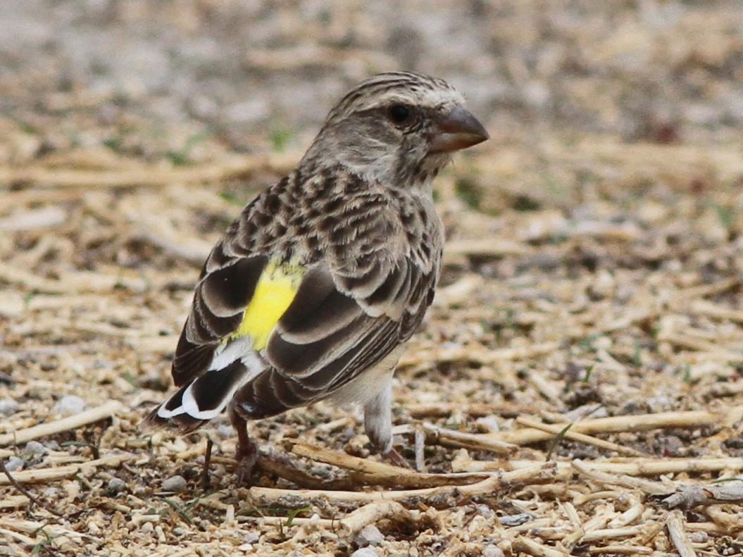 Black-throated Canary - John Martin