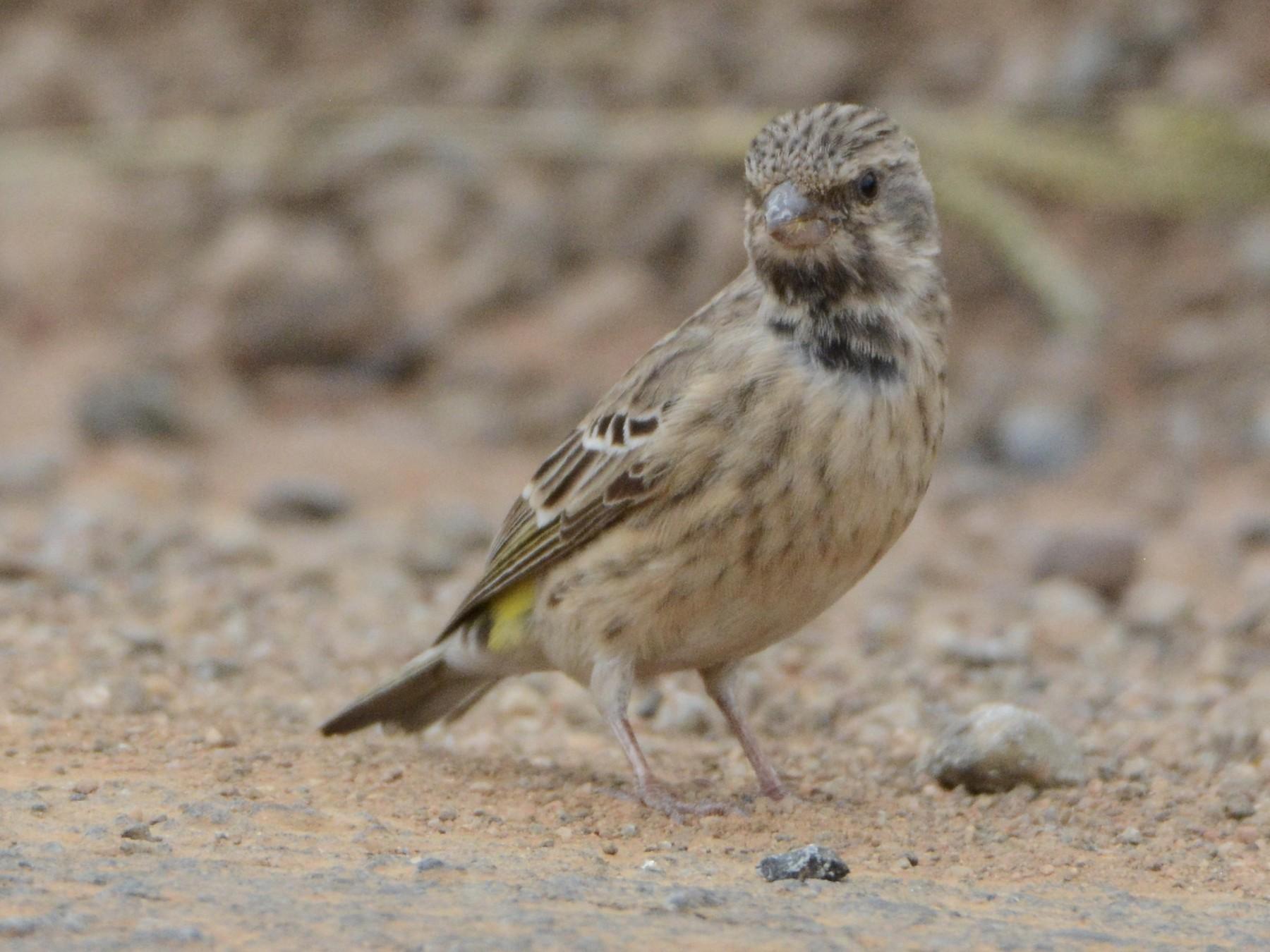 Black-throated Canary - Taylor Abbott