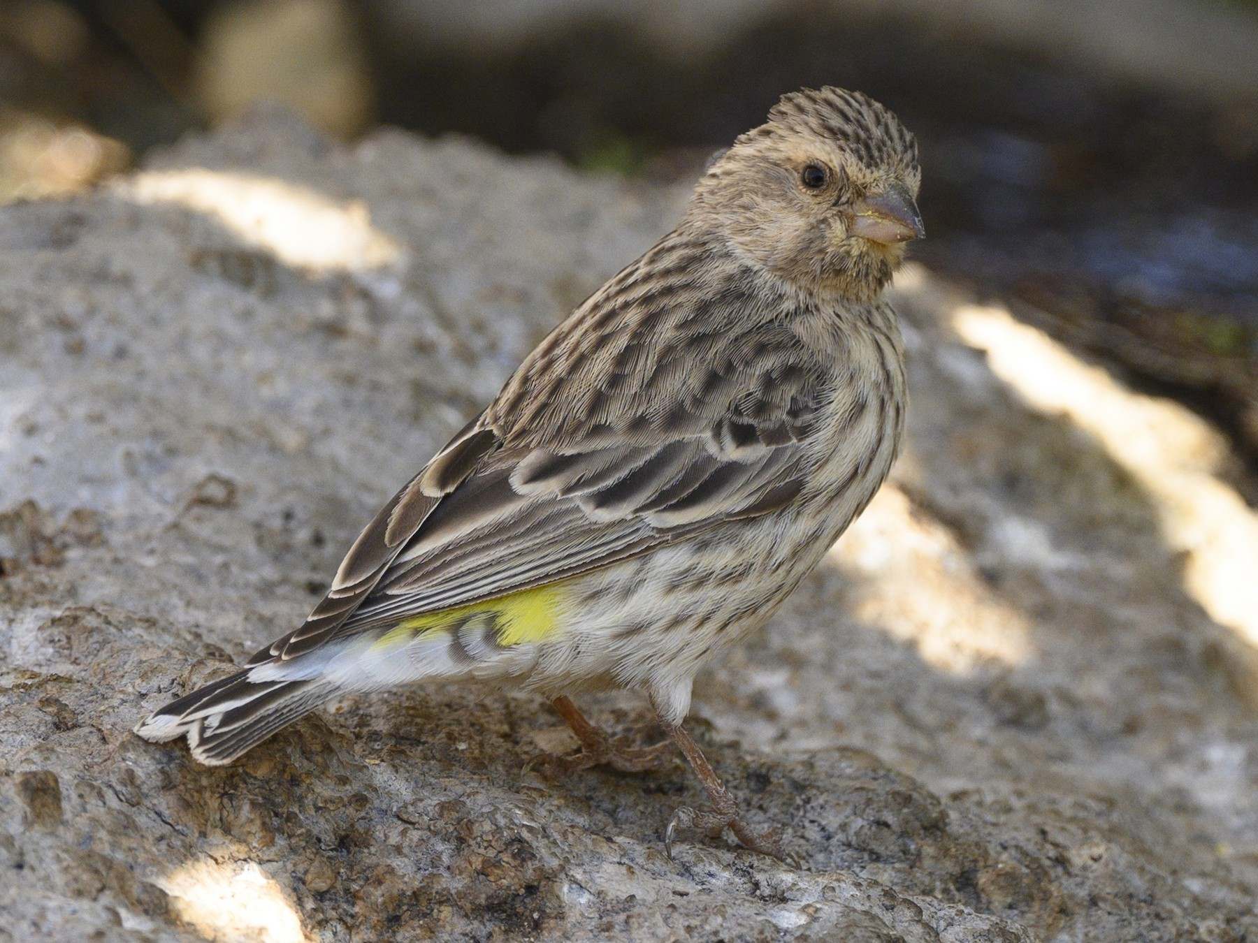 Black-throated Canary - Peter Hawrylyshyn