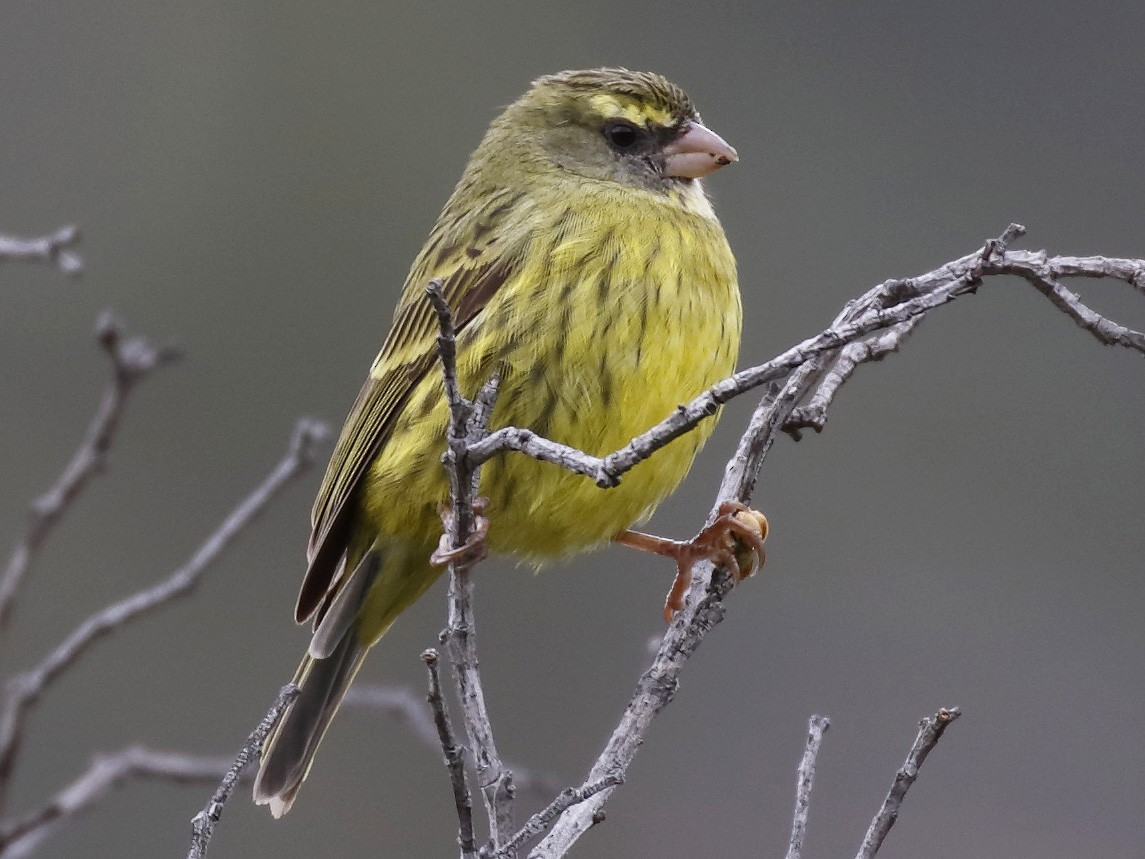 Forest Canary - Dave Curtis