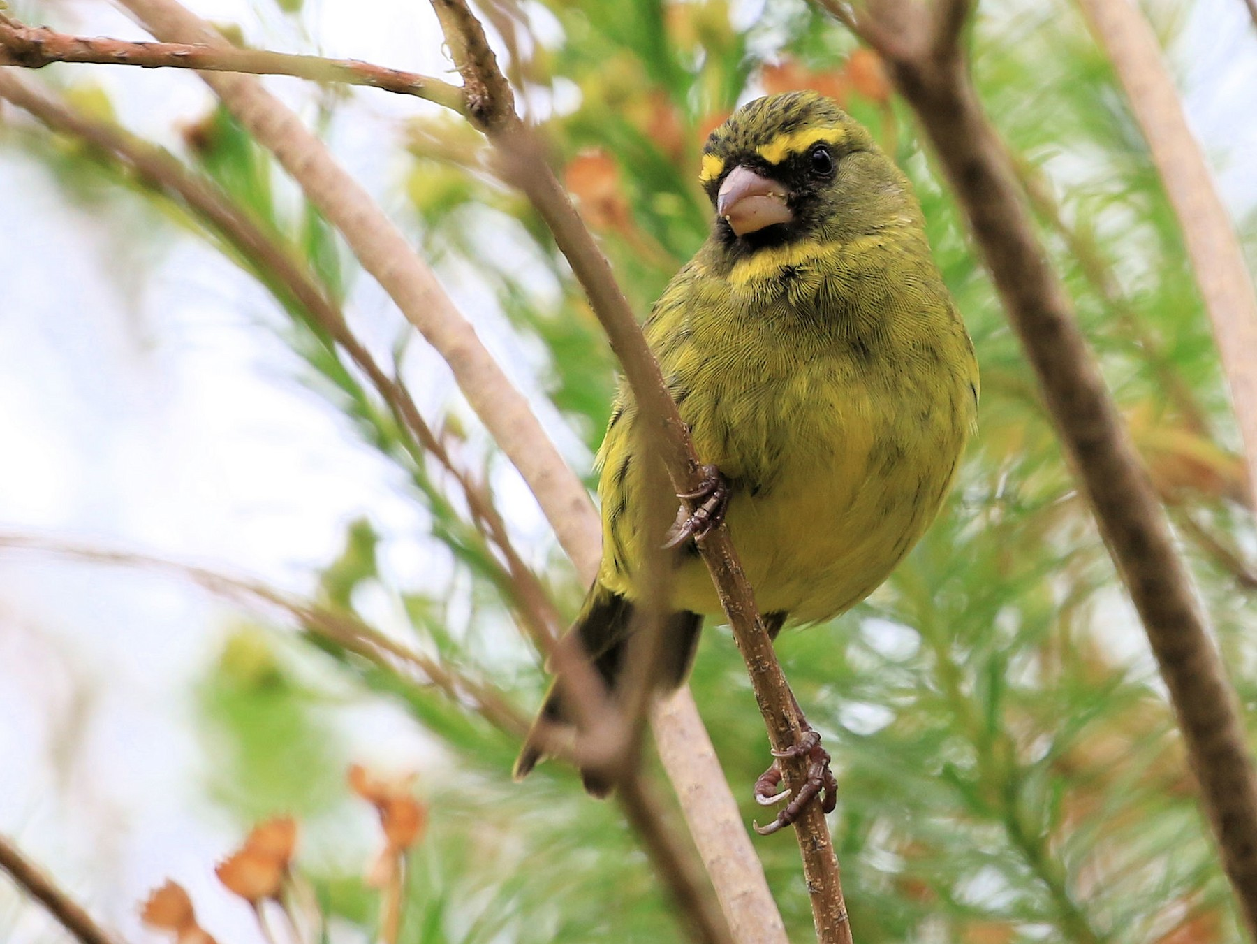 Forest Canary - Patrick MONNEY