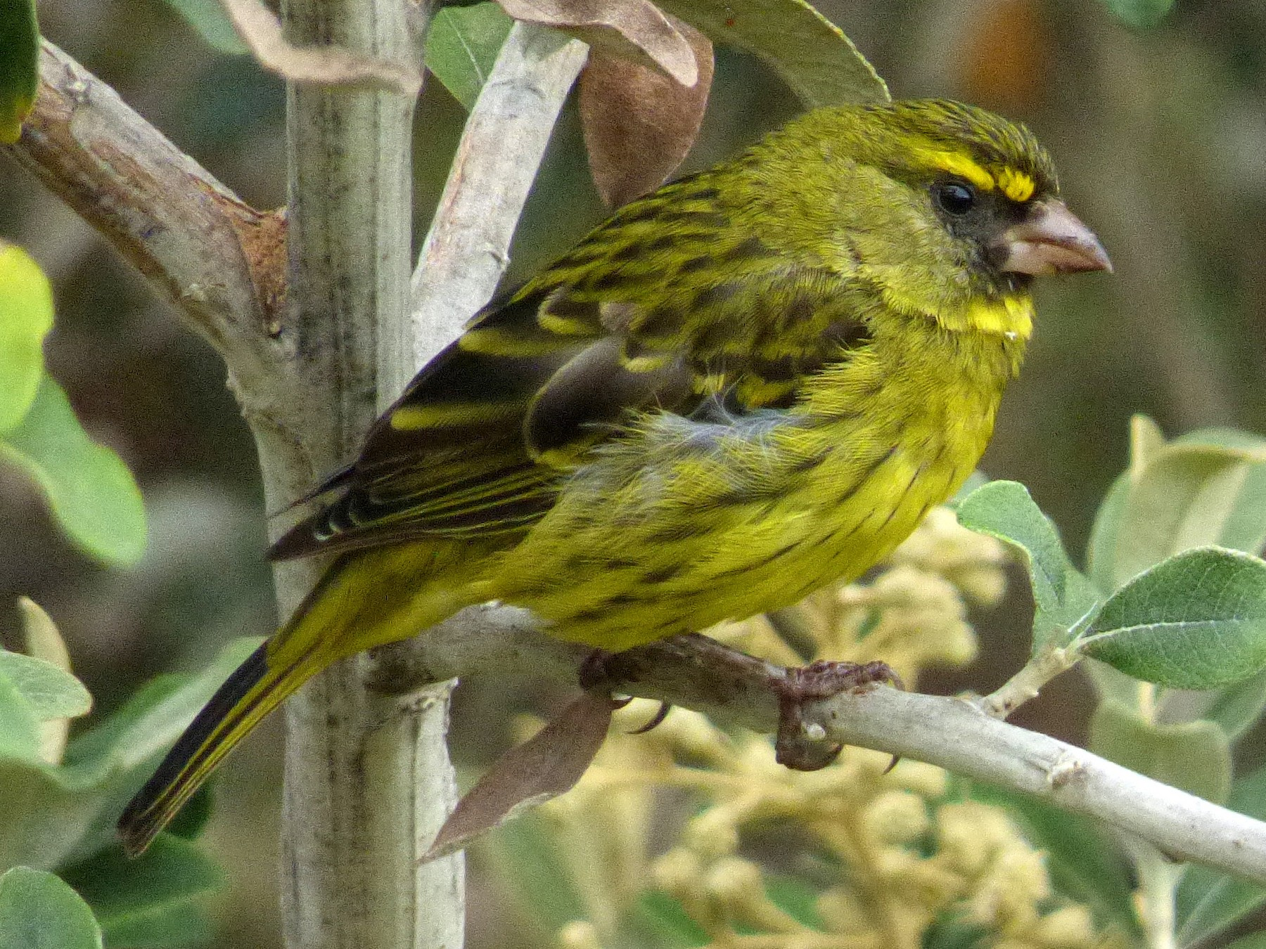 Forest Canary - Scott Winton