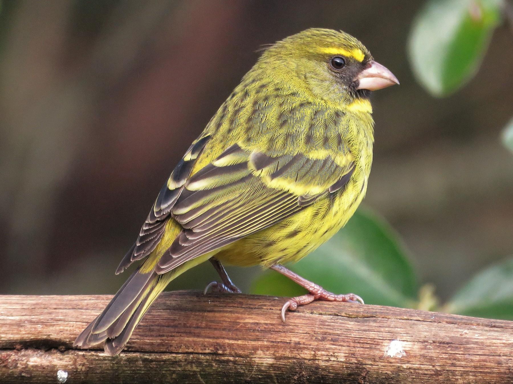 Forest Canary - Nicholas Fordyce