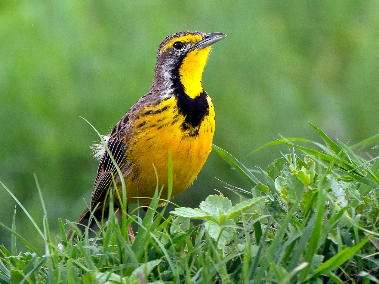 Yellow-throated Longclaw - George Pagos