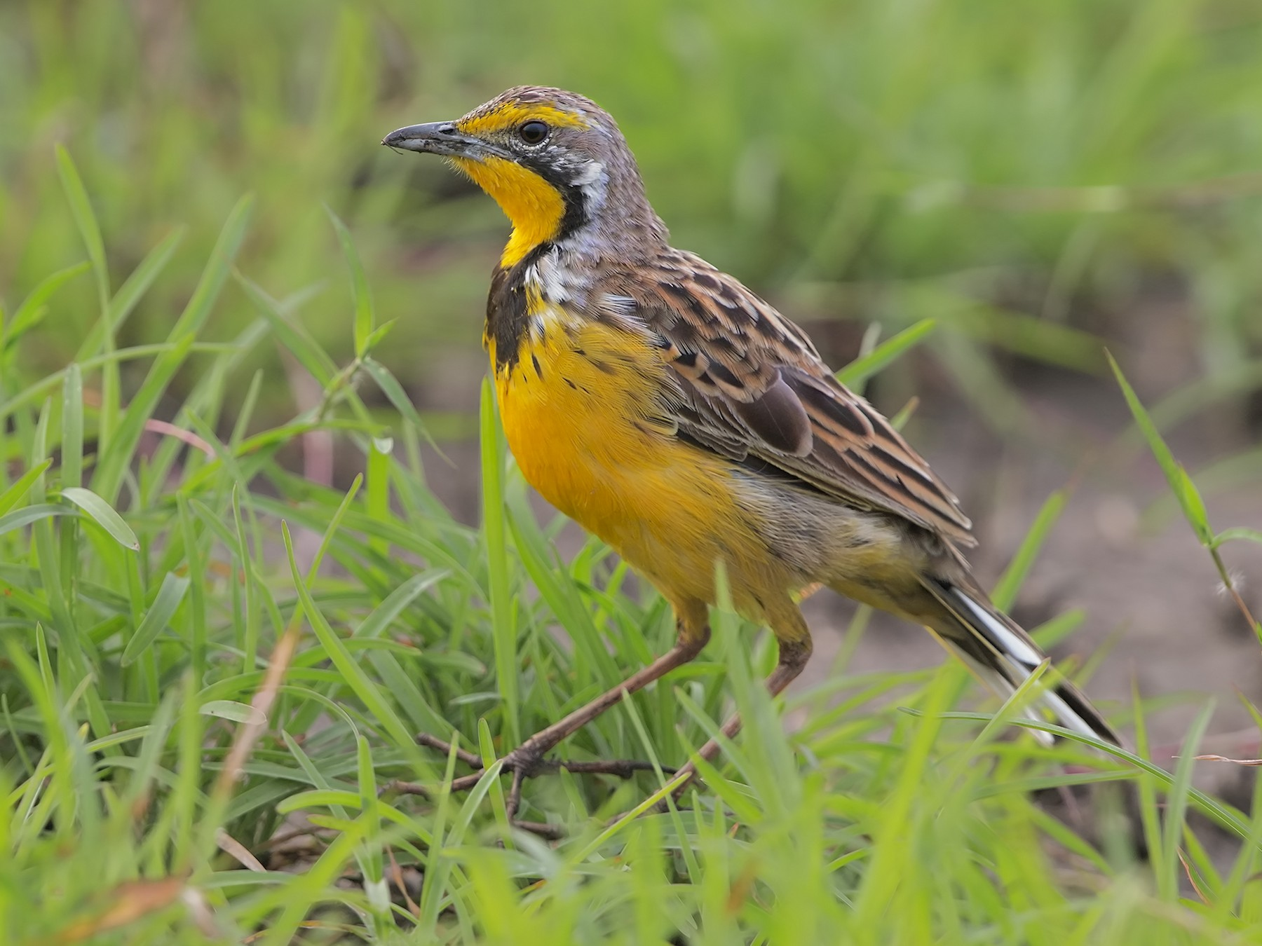 Yellow-throated Longclaw - Marco Valentini