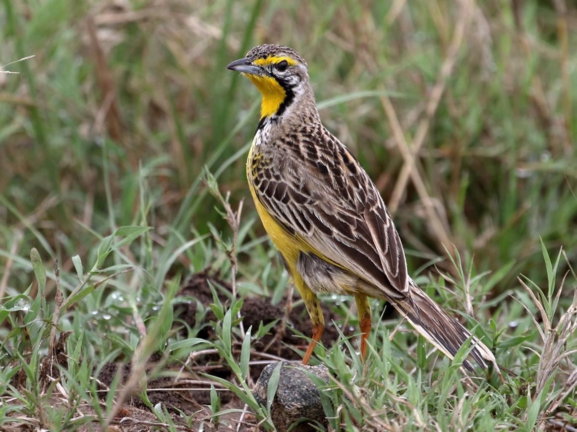 Yellow-throated Longclaw - Charley Hesse https://www.schoolofbirding.com/