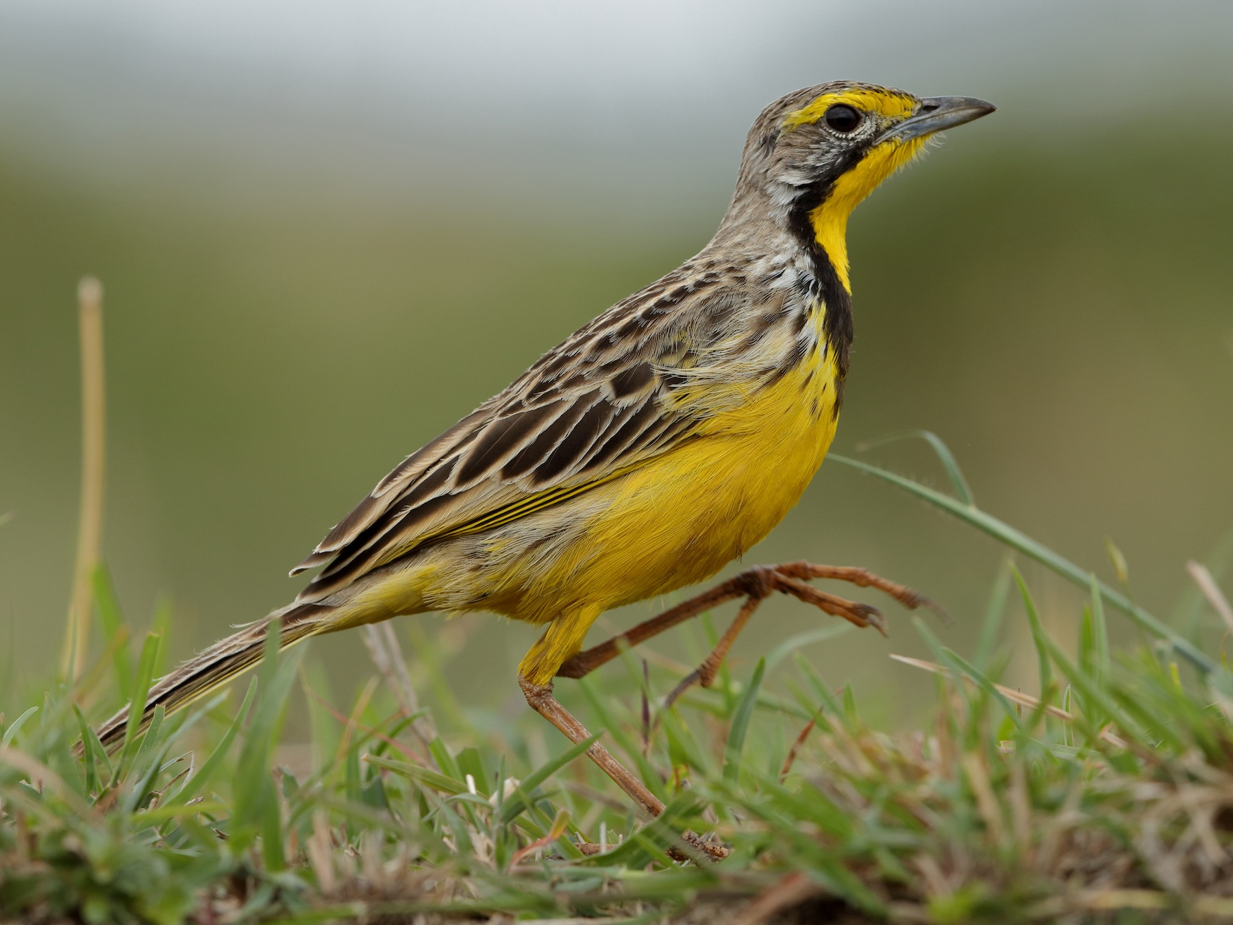Yellow-throated Longclaw - Holger Teichmann