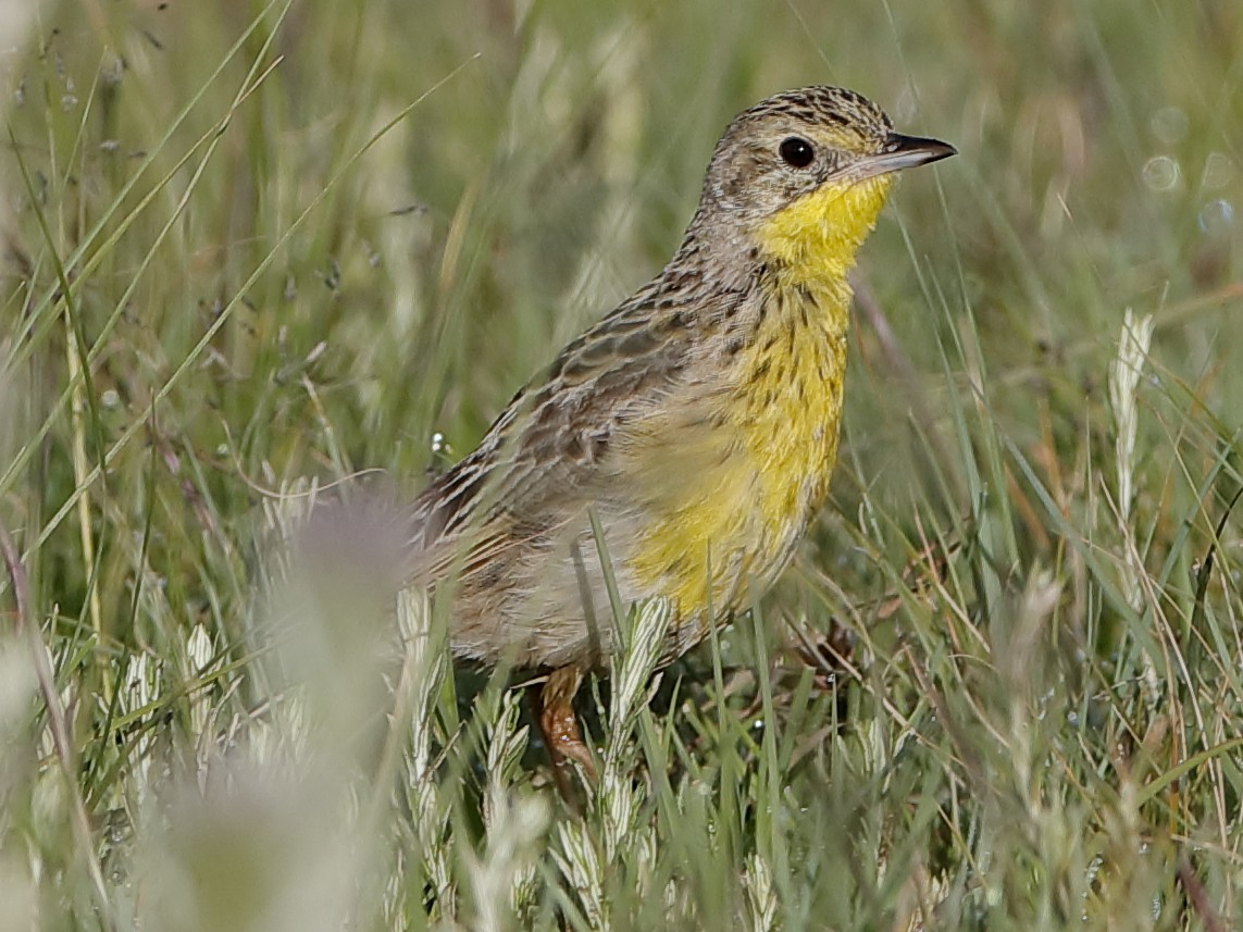 Yellow-breasted Pipit - Holger Teichmann