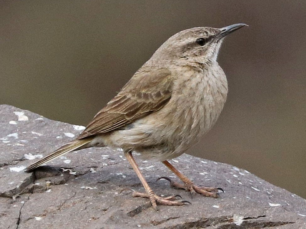 Yellow-tufted Pipit - Rick Franks