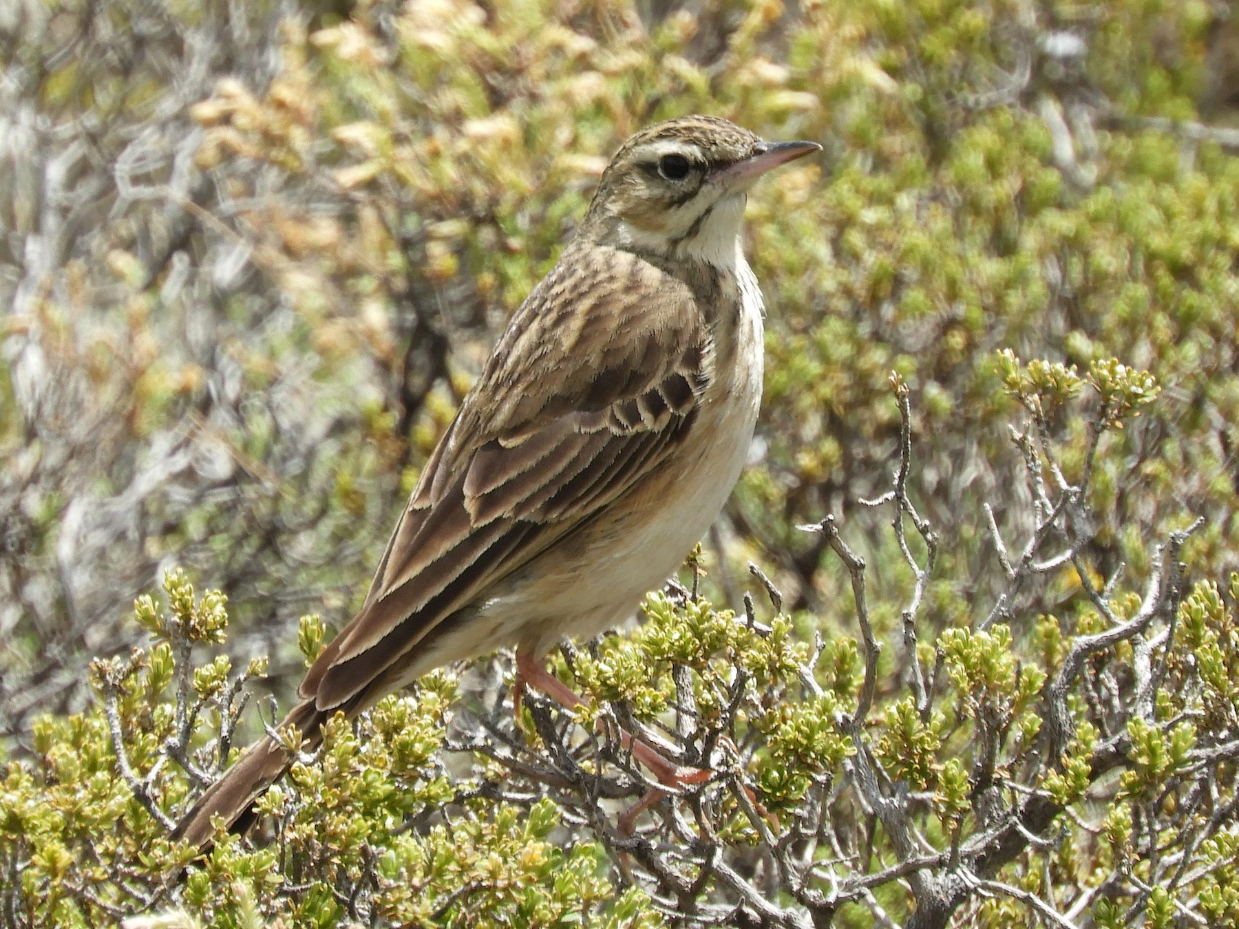 Mountain Pipit - Anonymous eBirder