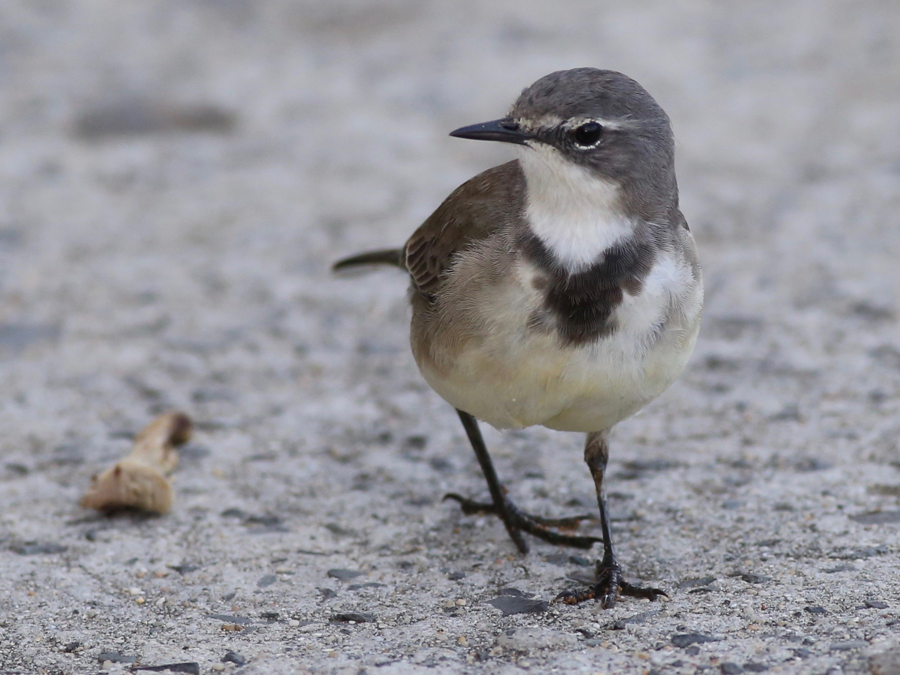 Cape Wagtail - Peter Hosner