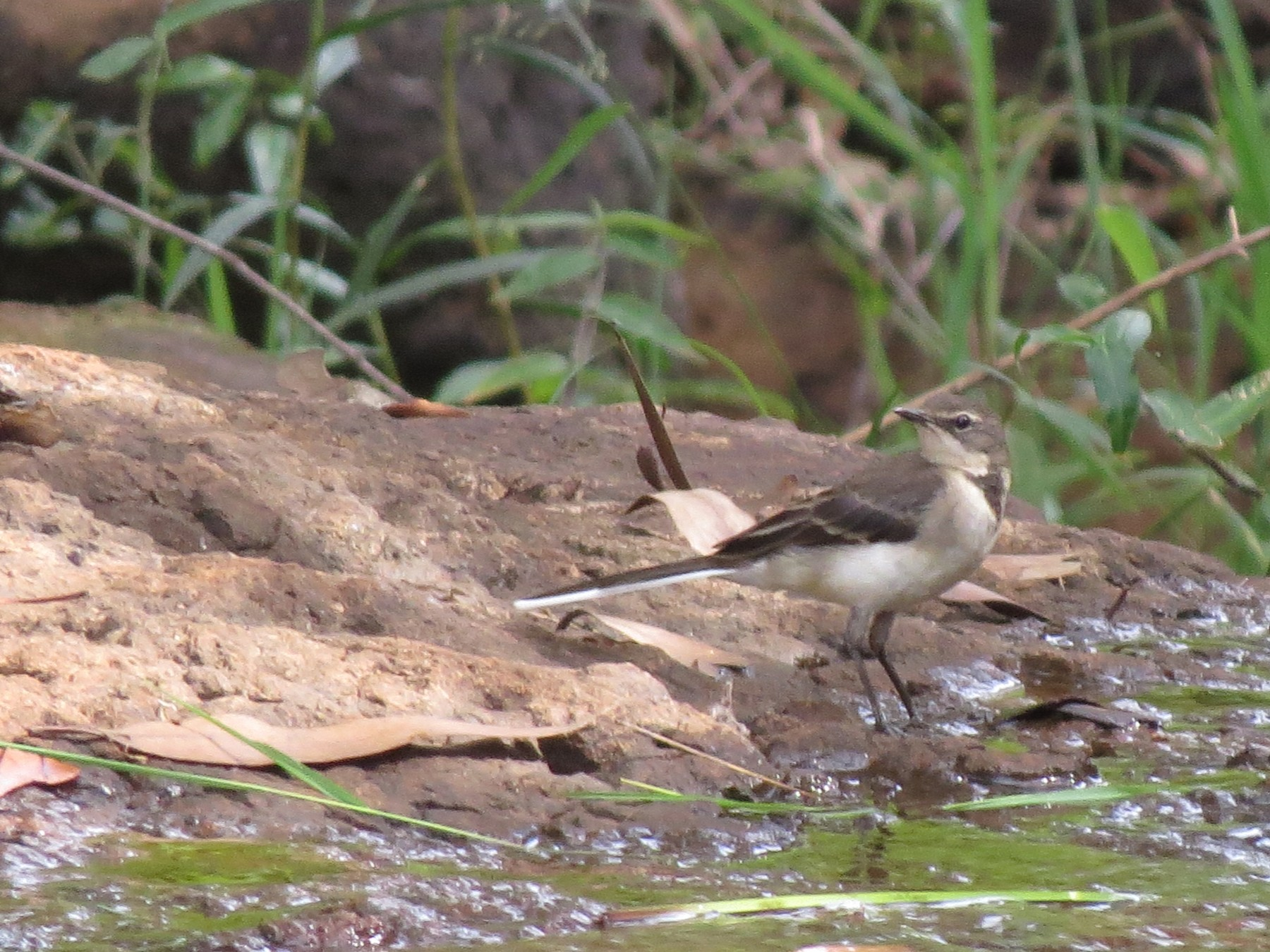 Cape Wagtail - James Bradley
