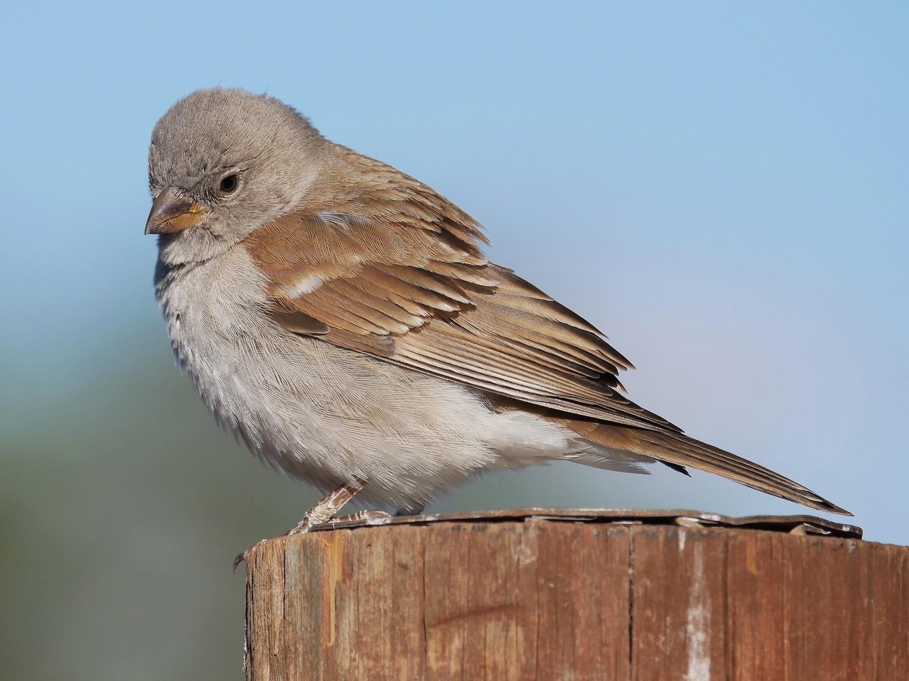 Southern Gray-headed Sparrow - Tom Heijnen