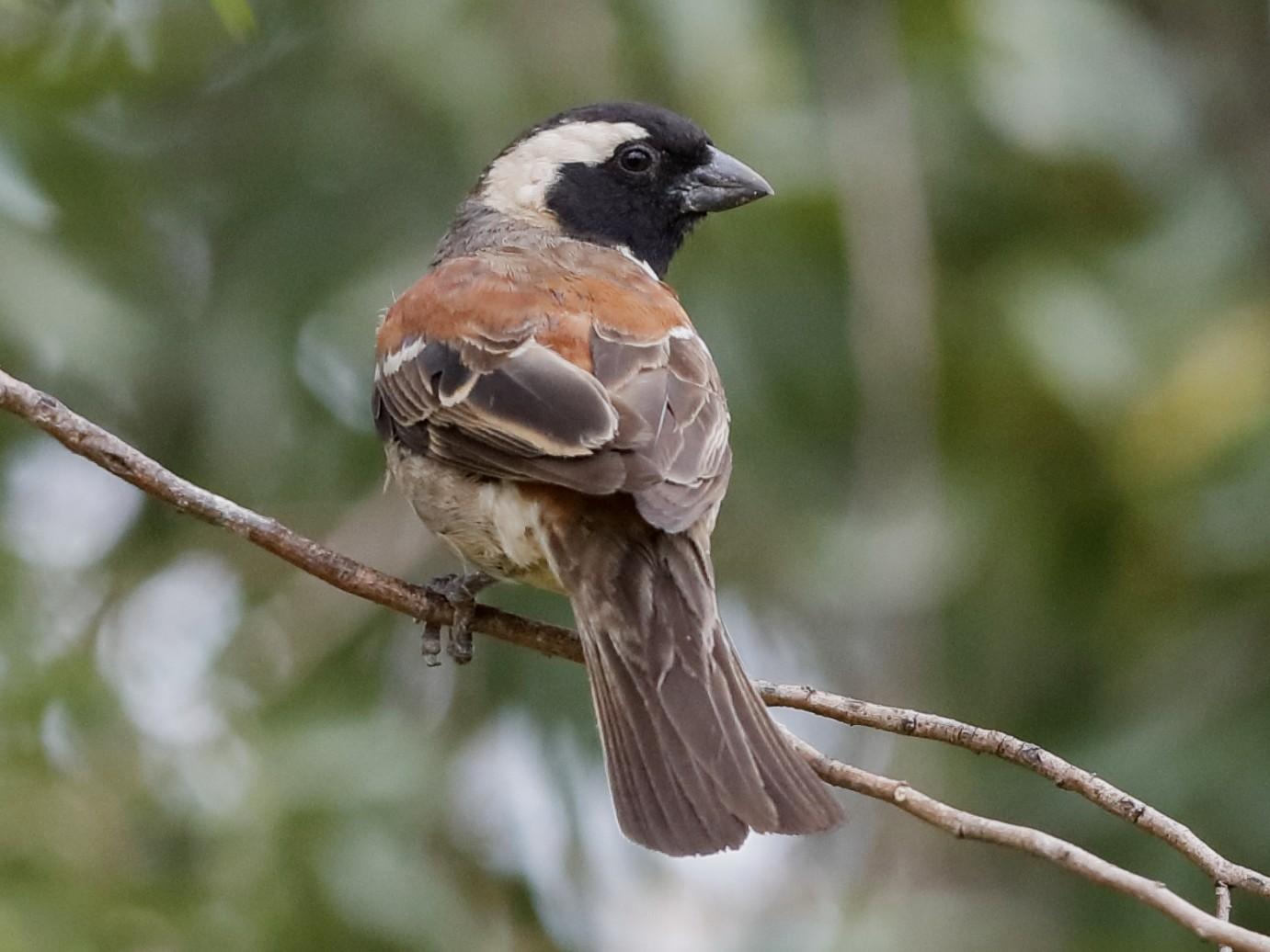 Cape Sparrow - Holger Teichmann