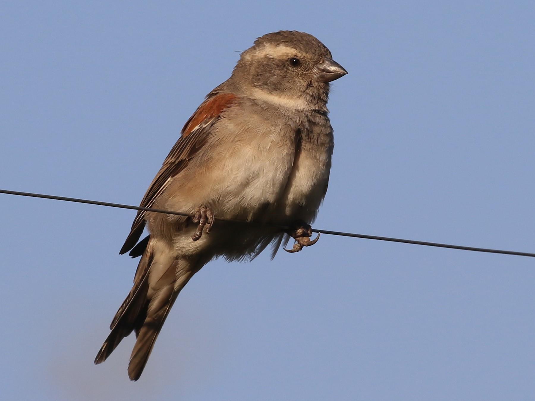 Cape Sparrow - Hendrik Swanepoel